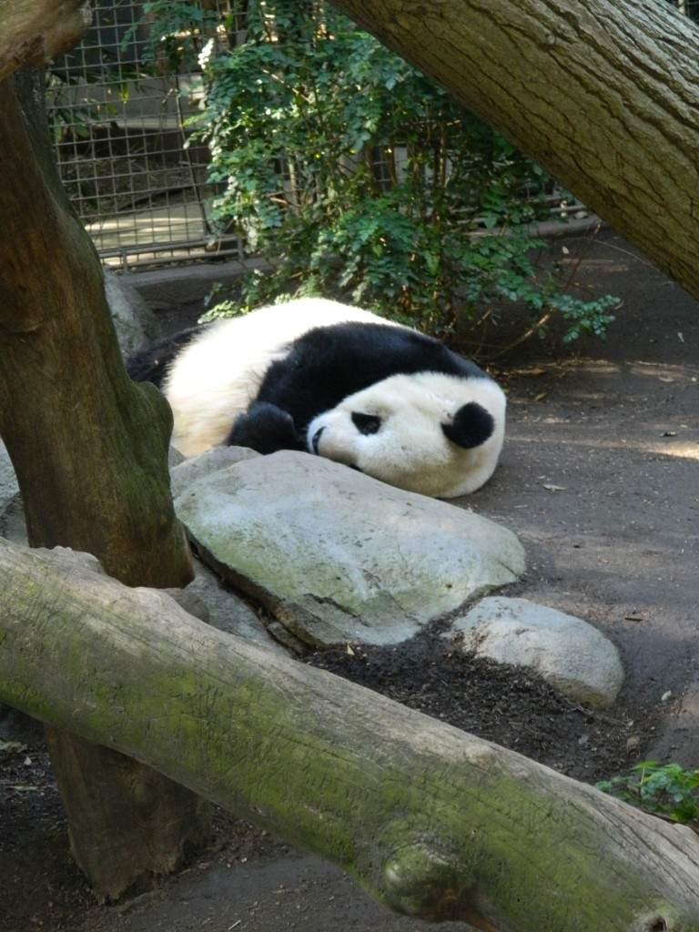 A fila pra ver o panda era enorme. E chegando lá, o que ele estava fazendo? Dormindo!